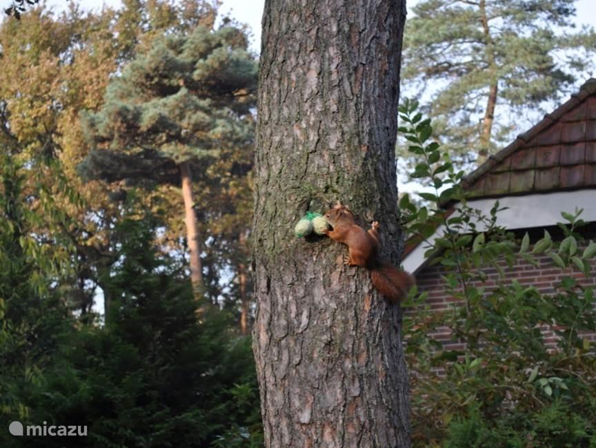 Onze huis eekhoorn die je vanuit de woonkamer regelmatig ziet.