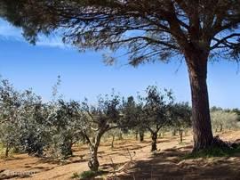 De olijfbomen van de familie Rizzo