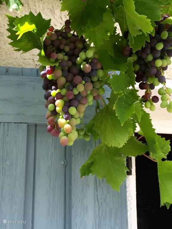 Druiven in de tuin onder de pergola
