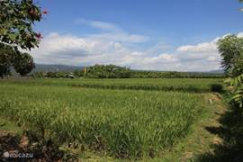 Overlooking the rice fields to back villa
