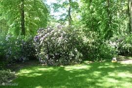 In het voorjaar staan de rododendrons in volle bloei