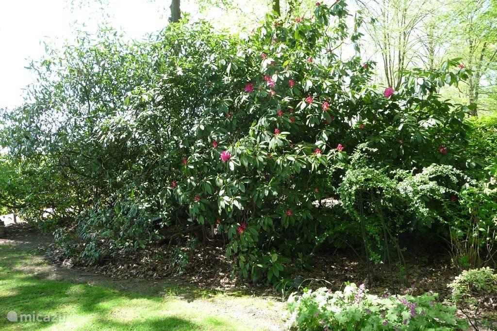 Rhododendrons een prachtig gezicht als ze  in bloei staan