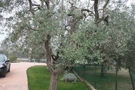 View of part of the garden: Olive Trees