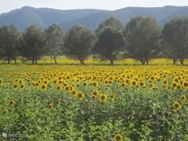 Vanaf Juni rondom het park prachtige zonnebloemvelden