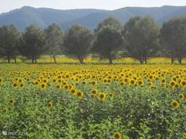 As of June around the park beautiful sunflower fields