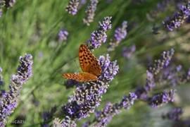 Tientallen vlinders zoeken gretig nektar op de heerlijk ruikende lavendel. Samen met de alom aanwezige rozemarijn en tijm komt het provencaals parfum je tegemoet.
