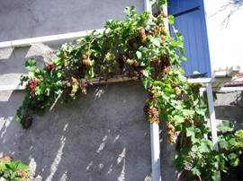 1 of 2 grapevines