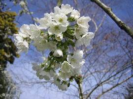 Fruit Blossom in Spring