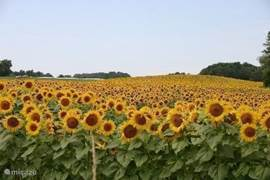 Sunflower field in the vicinity