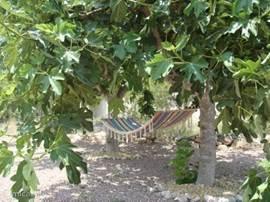 Twee vijgenbomen met zomers (juli/ augustus) genoeg vijgen voor alle gasten!