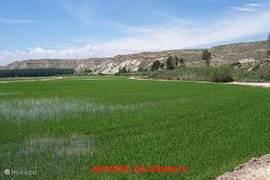 Rijstvelden bij Calasparra wegens het zeer gunstige micro-klimaat