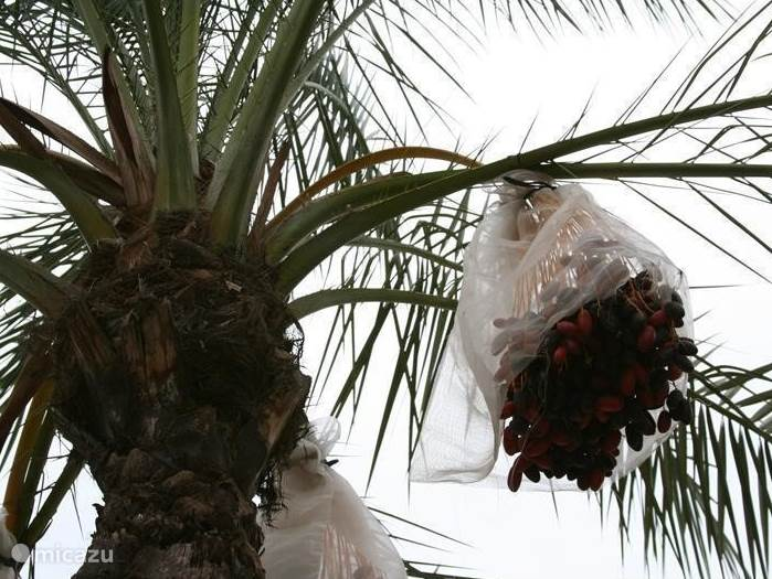 Elche, dadelpalm in palmenpark