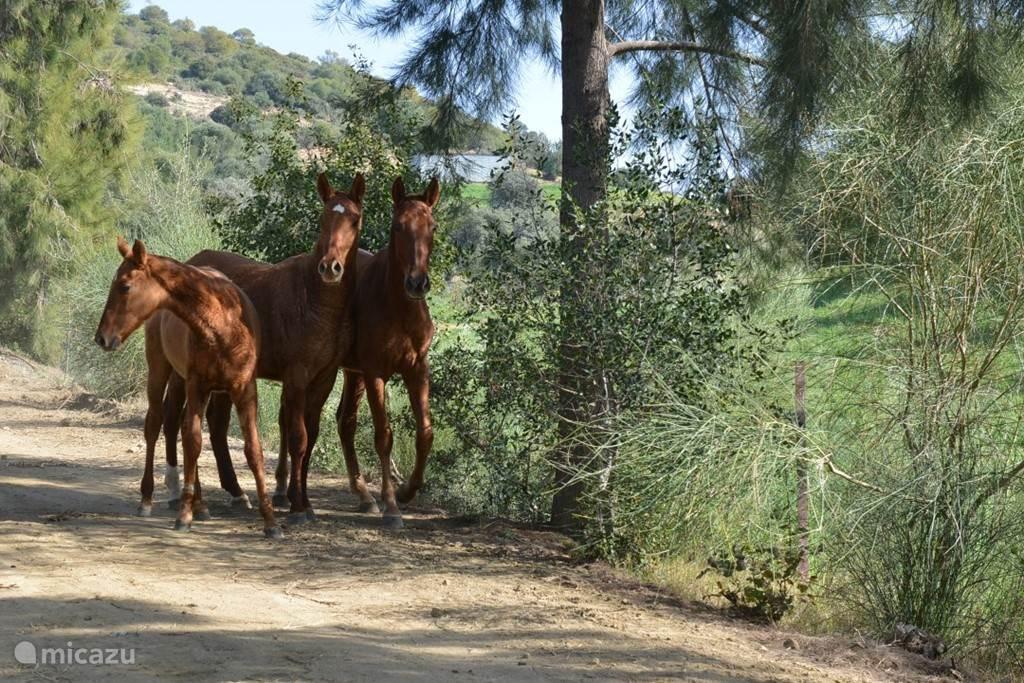 de paardjes