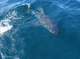 de haaien zien en beleven in Gansbaai is een ware sensatie.