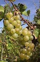 wijngaarden langs de Moezel