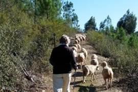 Wandelen en onderweg een kudde schapen tegenkomen