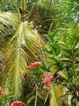 Elke dag verse cocos uit eigen tuin!