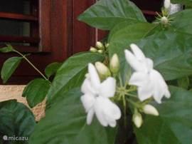 Onder het keukenraam bloeit de jasmijnstruik, die een heerlijke geur verspreidt.