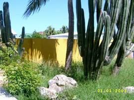 metershoge cactussen in de tuin