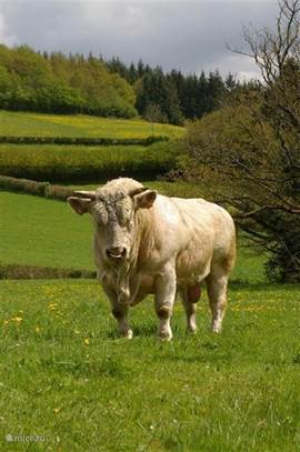 The cattle of the Morvan, the Charolais. In this case, a tough guy Burgundy!