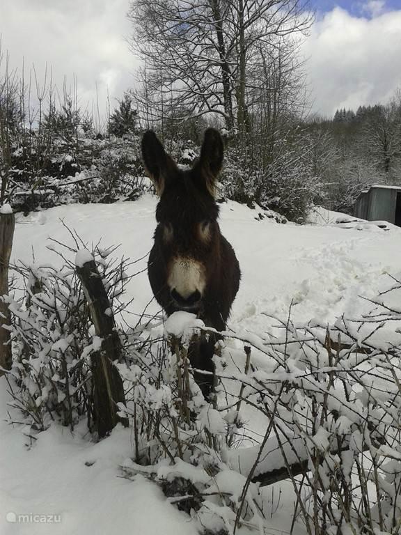 Onze dorpsezel in de sneeuw