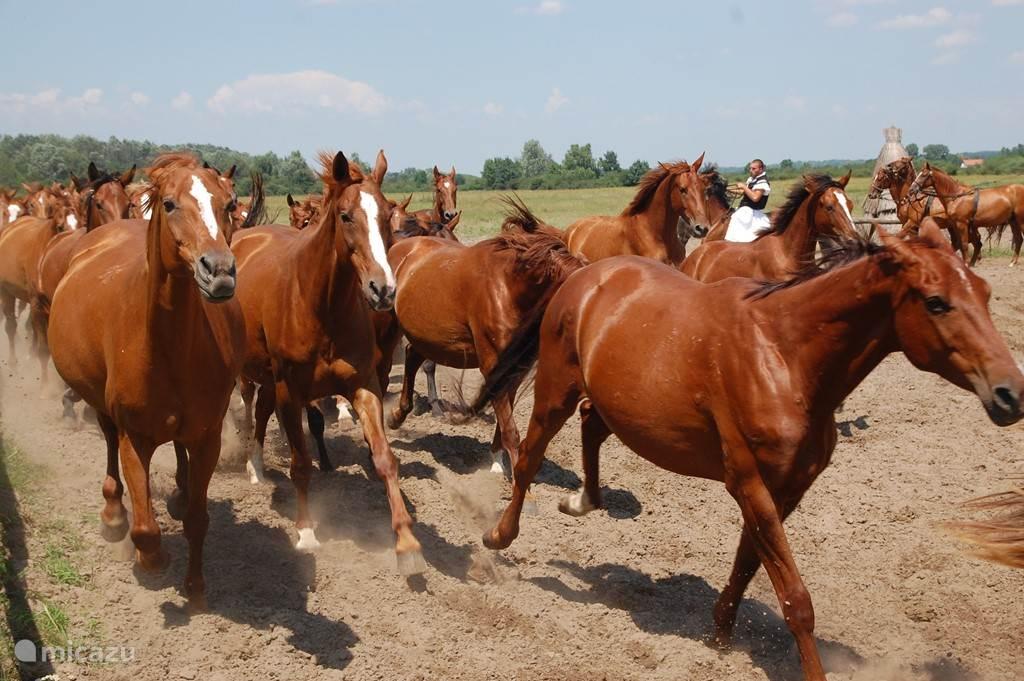 Een enerverend moment. Na de paardenshow op de Bugac worden de paarden losgelaten. Prachtig om te zien!