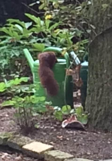 Deze foto is genomen door een van onze huurders, de eekhoorntjes drinken water uit de gieters die wij standaard in de tuin hebben staan.