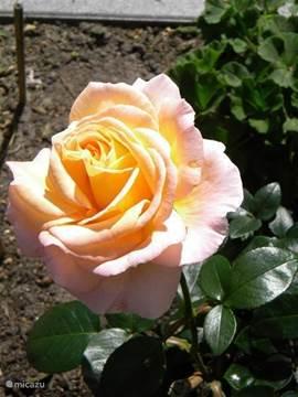 Diverse mooi bloeiende en geurende rozen. Roos Just Joey.