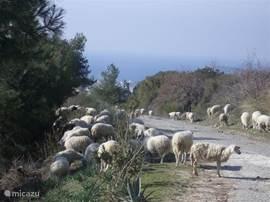 Schapen op de weg naar de villa. Met herder en hond komen ze regelmatig langs.