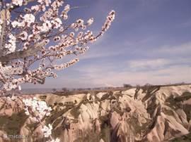 In het vroege voorjaar staan de abrikozenbomen in de bloesem. Het is bijna kitsch...