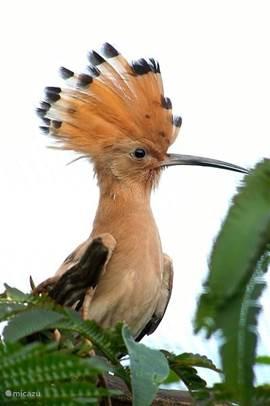 De hop is een veel geziene gast. Om het spotten gemakkelijk te maken, roept hij regelmatig hop-hop-hop. Echt waar! Als hij vliegt vertoont hij een dwarreling van zwarte, witte en roodbruine veren.