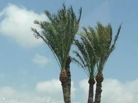 Palmbomen zie je volop in Denía.