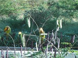 Parakeets in Tutu Ruti.