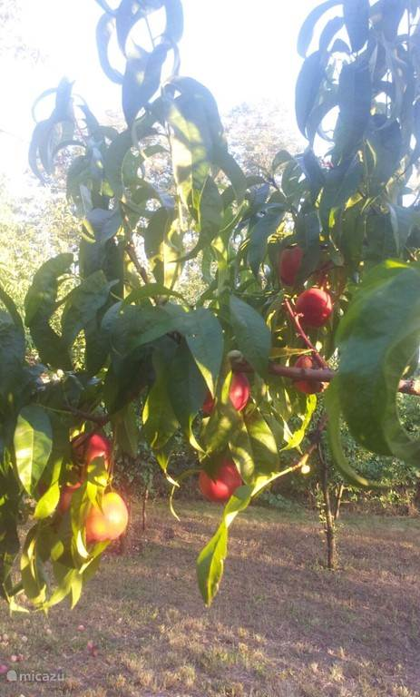 Nectarines in August