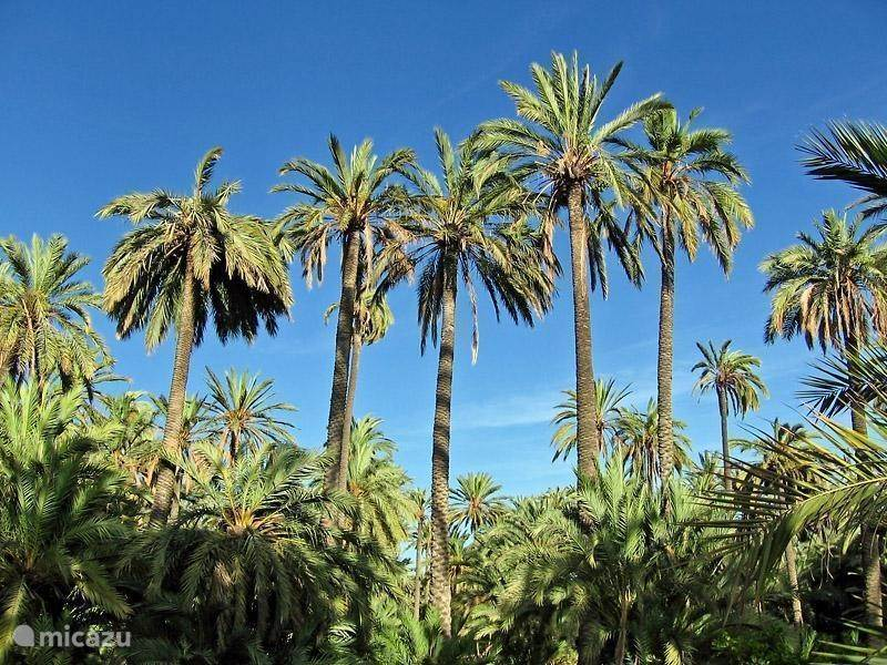 Palmenbos in Elche