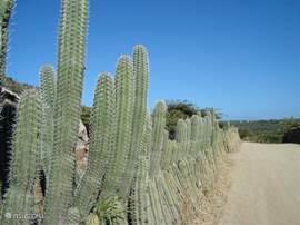 cactusheg