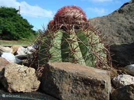 bolcactus