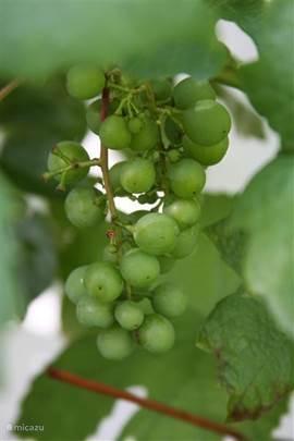 Druiven in omheinde tuin van ruim 1100 mm2