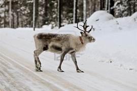 Rendieren kom je ook in de winter op de weg tegen