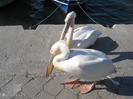 Ook zitten de pelikanen te zonnen in de haven van Fethiye.