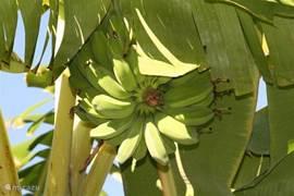 Bananen en vele andere vruchten uit eigen tuin.