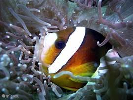 Er kan in de buurt op verschillende plekken heel goed worden gesnolkeld en gedoken. Hier een clownsvis.
