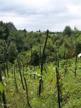 Onze wijngaard op de zuidhelling, die helaas door ons niet meer bewerkt wordt..