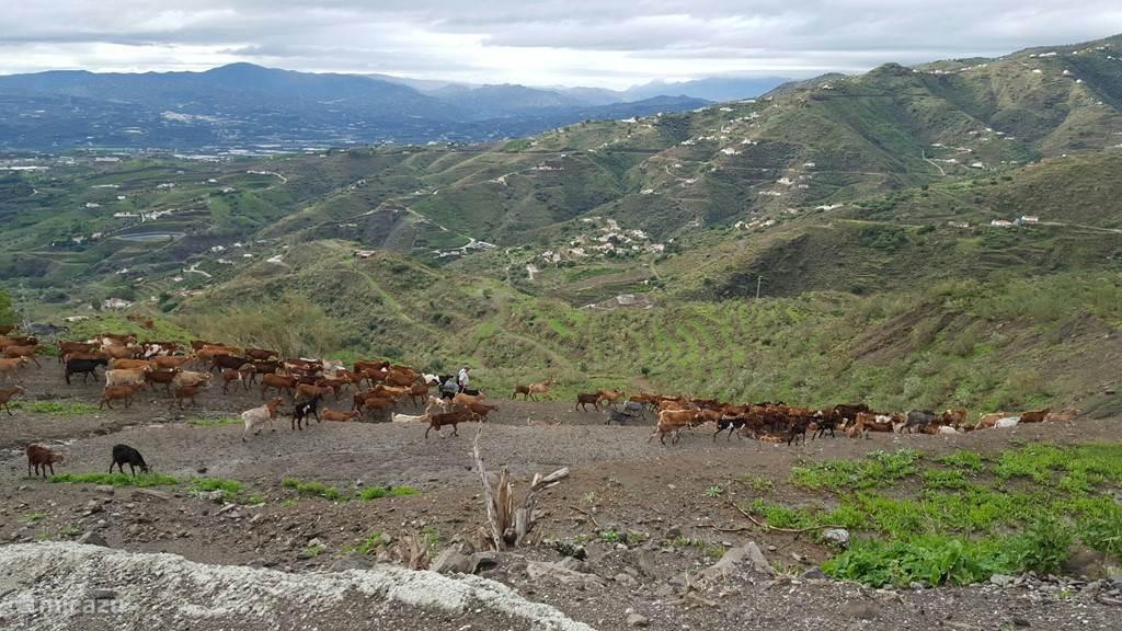 Tussen de vakantiewoning en de kust komt u vaak deze kudde geiten tegen.