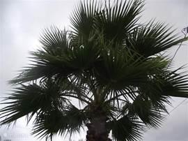 De karakteristieke grote palm in de voortuin