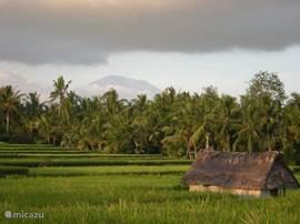Rijstvelden tussen ons huis en Ubud