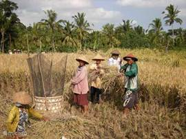 Rijstoogst in de velden achter ons huis
