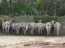 de kudde zebra's