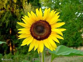 Zonnebloemen in overvloed