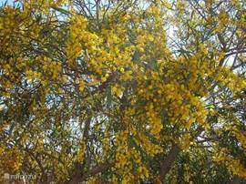 Mimosa kleurt de wegen en straten rond het appartement geel in maart.